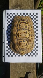 Pantherschildkröten 1 1