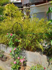 mehrere schöne Bambus Muriel Fargesia