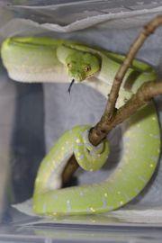 Grüner Baumpython - Morelia Viridis Jayapura