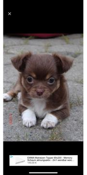 Suche einen Chihuahua mix