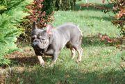 Französische Bulldogge Rüde mit Stammbaum