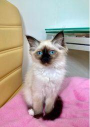 Reinrassige Heilige Birma Kitten Katzen