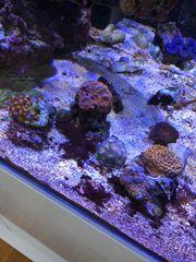 Korallen aus Beckenauflösung