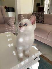 Bkh und Scottisch Fold Kitten