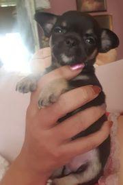 Zuckersüße Chihuahua Hündin in Black