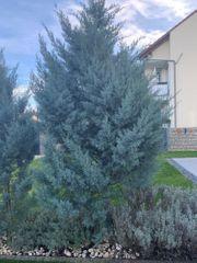 Arizona Zypresse schön gewachsen 2