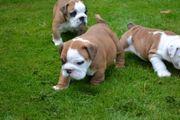 Wunderschöne Englische Bulldoggen für Jungen
