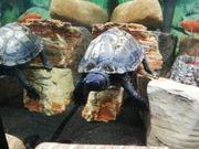 Dreikielschildkröte mit oder ohne Aquarium