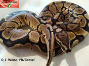 Woma Gravel oder Yellowbelly Weibchen