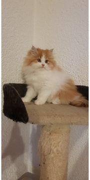 Wunderschöne Reinrassige Perser Kitten mit