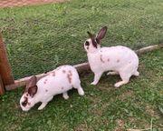Kaninchen Castor Rex abzugeben