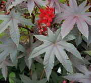 Rizinuspflanzen Wunderbaum zu verkaufen