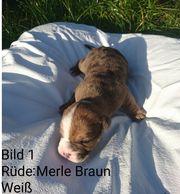 Old Englisch Bulldog Mix Welpen