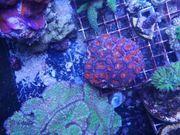 Meerwasser SPS LPS Euphyllia Korallen