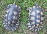 weibliche Breitrandschildkröten Landschildkröten Schildkröten
