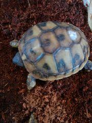 Schildkröten - griechische Landschildkröte