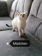 Siam BKH Mix Kitten