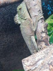 Nackenstachler Acanthosaura capra