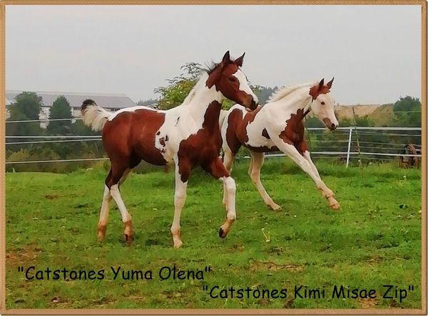 Paint Horse Hengst- Absetzer drei
