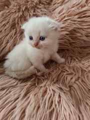 Heilige Birma Scottish Fold Kitten