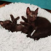 Van KatzeTonkanese Kätzchen Mix