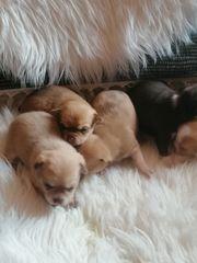 Chihuahua Welpen nur noch ein