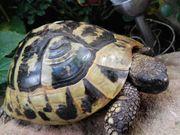 Griechisches Landschildkröten Weibchen von 1992
