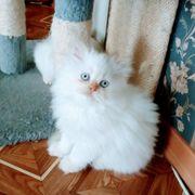 Zucker süßen Perser Kitten mit