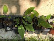 Bienenpflanze - Durchwachsene Silphie - ideale Spättrachtpflanze