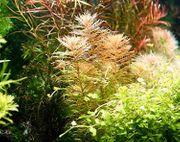 Amerikanisches Kammblatt RARITÄT Aquarienpflanzen Versand