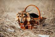Schäderhund-Bracke Mix Funtik sucht Zuhause