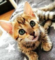 Bengal Kitten reinrassig mit Stammbaum