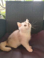 BKH und BLK Kitten