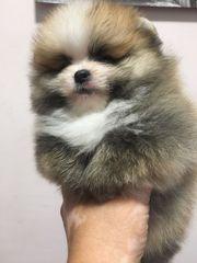 Pomeranian 2 süsse Jungs