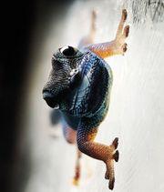 Lygodactylus williamsi Männchen