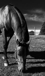 Reitbeteiligung auf Westernpferd