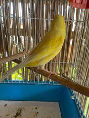 Kanarienvögel für 18EUR abzugeben