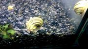 Asolene Spixi - Zebra Apfelschnecken fürs