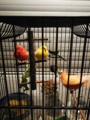 3 Kannarien Vogel mit käfig