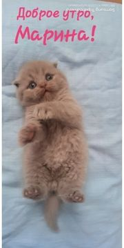 BKH Scottish Fold Kitten Blue