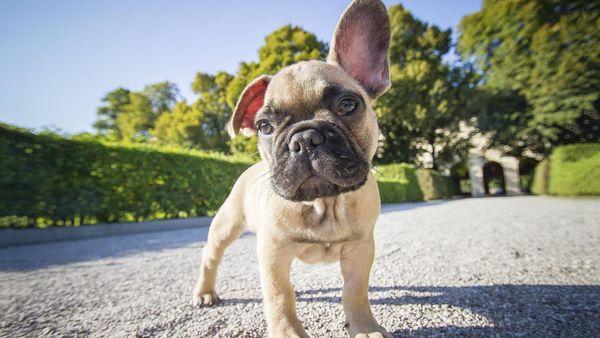 Suche Einen Franz Bulldoggen Welpen Rude In Leipzig Hunde Kaufen Und Verkaufen Uber Private Kleinanzeigen