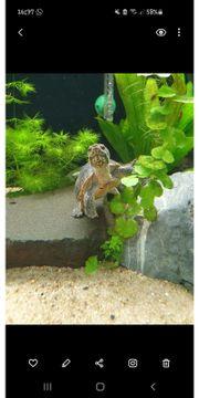 Sternotherus odoratus Moschusschildkröte