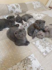 BKH Kitten 2 Kater Abgabebereit
