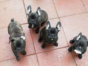 Französische Bulldogge Familienhunde Welpen