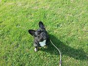 Französische Bulldogge Black Tan