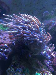 Meerwasser Korallen Sinularia