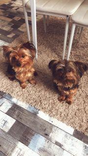 Deckrüde Yorkshire-Terrier Mini-Yorkshire-Terrier