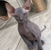 Wunderschöne Don Sphynx Kitten Kater