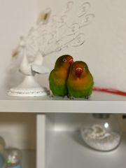 Agaporniden Paar