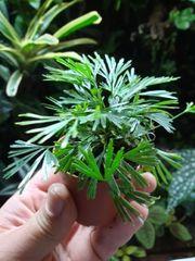 Actiniopteris Australis tropischer Miniatur Farn